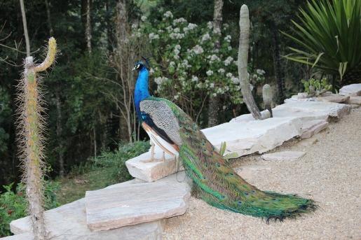 peacock-2639169_960_720.jpg