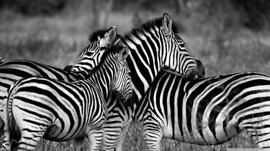 zebra_family-wallpaper-1366x768